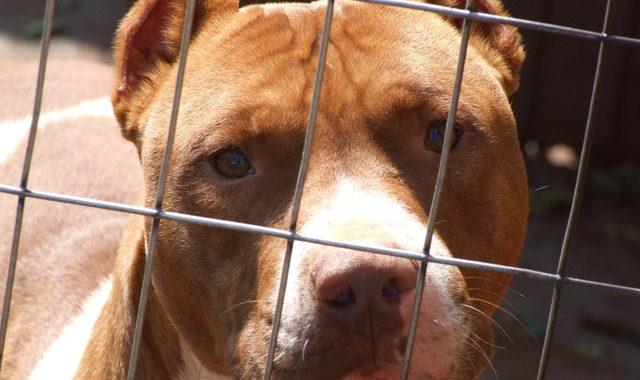 Nouvelles règles sur l'encadrement des chiens dangereux au Québec – Quelle est ma responsabilité ?